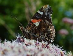 Red Admiral (Vanessa atalanta) (Claire Sell) Tags: nature butterfly nikon redadmiral nikond3200 vanessaatalanta 1855mmf3556 d3200 nikon1855mm