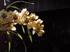 Banho de sol da orqudea (Claudia Mendes2015) Tags: flores flora flor orqudea