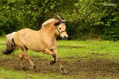 Vidar (Setsukoh) Tags: horses horse animal cheval free pony fjord libre stallion poulin chevaux foal poney pouliche étalon
