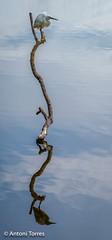 L'espera (vfr800roja) Tags: natura emporda egrettagarzetta martinetblanc aiguamolls girona ocells castellódempúries catalunya españa es