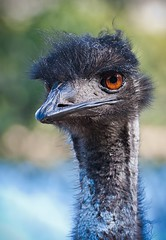 Old Man Emu (Bay and Basin Camera Club) Tags: animals bbcc birds commended wildlife spc