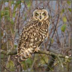 Short-eared Owl (image 1 of 2) (Full Moon Images) Tags: wildlife nature cambridgeshire fens east anglia bird prey birdofprey shorteared owl short eared seo