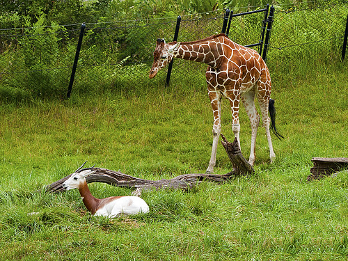 Indianapolis Zoo 08-08-2013 - Addra Gazelle and Reticulated Giraffe 4
