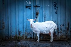 goat .. not parked yet. (-Visavis-) Tags: goat kyiv kiev ukraine blue whiteblue canoneos5d ef50mmf14usm animal киев татарка tatarka urban київ garage 50mm