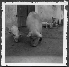Archiv K342 Kein Trüffelschwein, 1950er (Hans-Michael Tappen) Tags: archivhansmichaeltappen schwein schweine haustiere haustier freilandhaltung sauen sau muttersau ferkel landwirtschaft 1950s 1950er borstenvieh schweinespeck