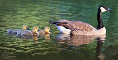 Geese Family (Paula Darwinkel) Tags: goose geese canadiangoose bird birds nature cute animals wildlife goslings fauna