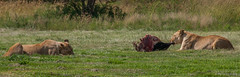 Lioness eating meat, no vegan !!! (Renzo Ottaviano) Tags: sterkfonteindma gauteng sudafrica south africa renzo lorenzo ottaviano lion lioness eating