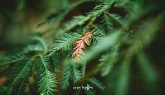 (re-vivir) (mariatarazonaphotography) Tags: soft nature pino pine old leave peñas de aia bosque forest fog basque countryç vasc donostia guipuzcoa canon dmark iii markiii europe