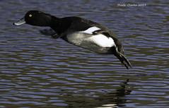 Take flight. (Nobby1968) Tags: tufted duck flying bird nature wildlife waterfowl water ripples eye