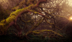 Fallen Giants (David Haughton) Tags: fallen tree woodland woods moss morning sunrise sunlight hazy misty foggy nature natural landscape intimate mysterious fineart davidhaughton uk