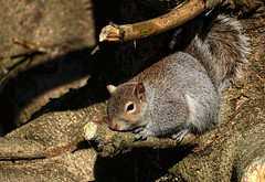 Warm sunrays (*Millie* (Catching up slowly)) Tags: young squirrel animal tree branch limb texture sun sunrays warm relax animalplanet amateurphotography canoneos canon closeup rebelt6i t6i efs55250mmf456isstm eye inspiredbylove lebanon pa nature outdoor quote nationalsquirrelday