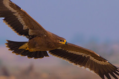 Steppe eagle (Irtiza Bukhari) Tags: wwfpakistan wwf eagleinflight flight personal closeup background wallpaper beauty nature canoneos70d soanvalley steppeeagle eagle steppe birdsofpakistan wildlifeofpakistan wildbird bukhari irtiza
