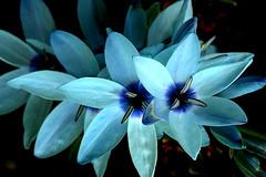Teal Blue IXIA (Lani Elliott) Tags: flower flowers ixia blue teal aqua colour colourful color beautiful serene gorgeous glowing brilliant wow