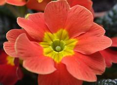 05-IMG_8521 (hemingwayfoto) Tags: blühen blüte blume flora frühblüher frühling frühlingsprimel garten gartenblume gewächs natur pflanze primel primulaveris