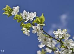 Flores de primavera... (svet.llum) Tags: primavera flor flores árbol guindo moscú rusia planta