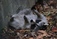 Playful Raccoon (IMG_5382) (katalin_kerekes) Tags: raccoon procyonlotor play tbt