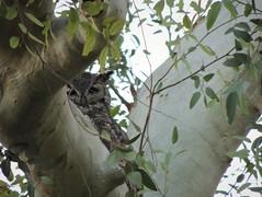 Shy guy (jwrieden) Tags: arizona animal birds owl greathornedowl wildlife nature southmountain phoenix outdoor