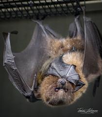 Baby Rodrigues Fruit Bat (ToddLahman) Tags: rodriguesfruitbat fruit bat rodrigues bathouse sandiegozoosafaripark safaripark canon7dmkii tokina tokinaatxm100afprod closeup escondido babyrodriguesfruitbat babybat