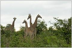 _DSC5552PJ_resultat (http://phj.bookfoto.com/) Tags: botswana philippe jubeau afrique delta okavango girafe