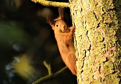 Red Squirrel (Sciurus vulgaris)      (2) (GrahamParryWildlife) Tags: red squirrel sciurus vulgaris mersea island essex global 150600 sport sigma mk11 mk2 7d canon parry graham grahamparrywildlife kentwildlife grahamparry southern england rare animal tree eartufts cute iso2500