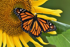 Monarch Butterfly (Danaus plexippus) DSC_4625 (blthornburgh) Tags: thornburgh tampa florida sunflower flower flyinginsect insect backyard nature pattern orange yellow monarch monarchdanausplexippus milkweedbutterfly butterfly garden danausplexippus closeup