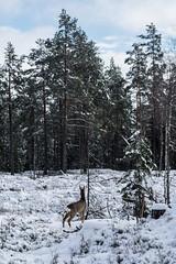 deer (Mange J) Tags: 50mmf17 magnusjakobsson pentax sverige sweden värmland deer forrest snow tree wild winter wood värmlandslän se