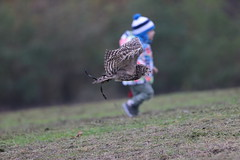 Playing together (carlo612001) Tags: owl play falconry playing flying wildlife joy enjoy enjoying birds natural nature