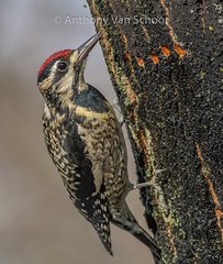 Yellow-bellied Sapsucker (Sphyrapicus varius) (AnthonyVanSchoor) Tags: yellowbellied sapsucker sphyrapicus varius nikond7100 tamron150600mmtelephotolens woodpecker howardcountymd howardcountybirdclub
