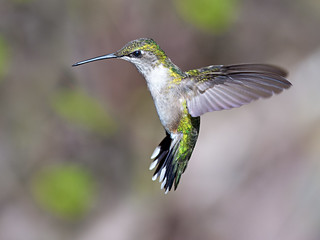 Colibri à gorge rubis (femelle) / Ruby-throated Hummingbird