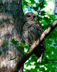 Barred Owl (mikerhicks) Tags: summer usa geotagged outdoors unitedstates nashville hiking tennessee wildlife barredowl percywarnerpark warnerparks geo:country=unitedstates camera:make=canon exif:make=canon geo:city=nashville geo:state=tennessee vaughnsgap canon7dmkii exif:aperture=63 exif:lens=18250mm sigma18250mmf3563dcmacrooshsm exif:isospeed=1600 exif:focallength=250mm camera:model=canoneos7dmarkii exif:model=canoneos7dmarkii geo:location=vaughnsgap geo:lat=3607113833 geo:lon=8687598667 geo:lat=36071138333333 geo:lon=86875986666667