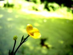 (Julia Mark) Tags: park flowers plant flower holland green nature yellow garden groen outdoor nederland geel tilburg bloemen gell φυση λουλουδι κιτρινο πρασινο παρκο φυτο ολλανδια φυλλο υπαίθριοσ
