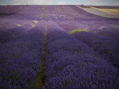 Lavender - Hitchin Lavender Farm (davepickettphotographer) Tags: uk flowers summer photography purple unitedkingdom beds farm harvest lavender olympus rows oil gb hertfordshire hitchin herts em1 olympuscamera ickleford