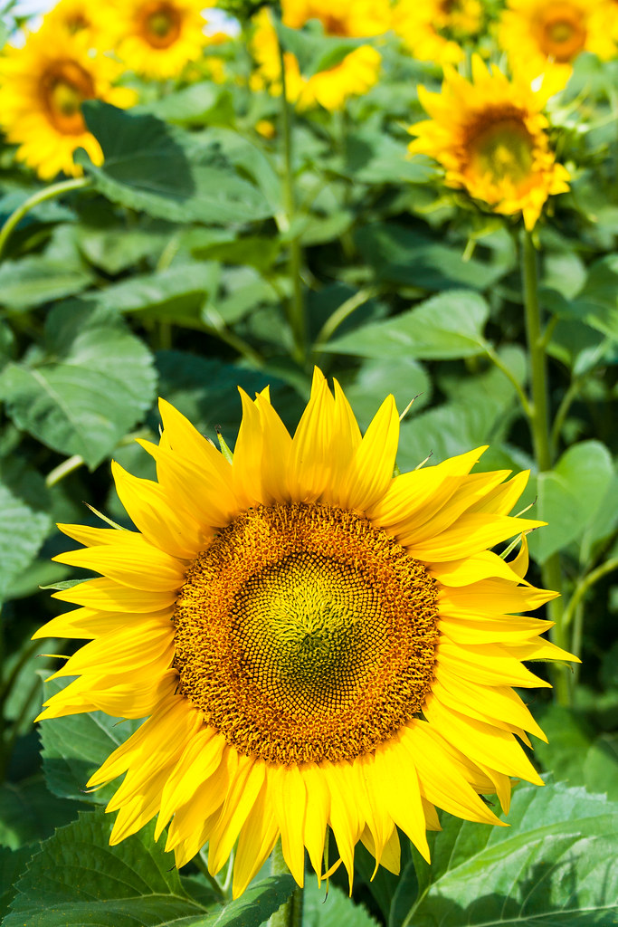 summer sunflowers andrea - photo #10
