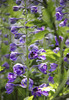 Ormeley Lodge (Kotomi_) Tags: summer garden border ham delphinium openday hamcommon ormeleylodge