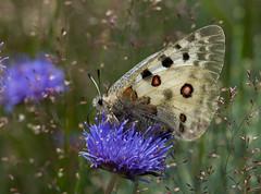 Apollon (JeanJoachim) Tags: lepidoptera apollon papilionidae appolo parnassiusapollo mountainapollo smcpentaxda300mmf4edifsdm coldepuymorens apollobutterfly pentaxk5iis