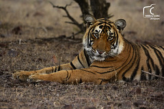 Cub 02 (NeerajGargPhotography) Tags: india forest wildlife jungle striped carnivore ranthambor