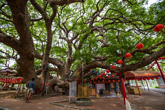 _MG_1356 () Tags: plant tree temple photography taiwan huge dslr     formosan  tree     canon5d2 camphor