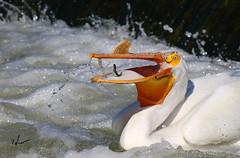 "American white pelican _H054814d (Peacefulbirder) Tags: wild white bird nature outdoor pelican rapids american richland bird"" ""wild dam"" ""horn"