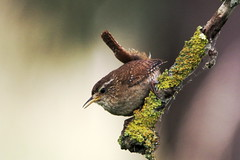 IMGP2640 Wren, Lackford Lakes, July 2015 (bobchappell55) Tags: bird nature wildlife lakes reserve trust wren lackford suufolk