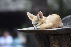 Fennec fox (floridapfe) Tags: cute animal zoo korea fox fennec everland fennecfox
