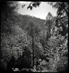 Oak Creek Canyon (K e v i n) Tags: trees arizona blackandwhite bw film nature analog outside sedona az scan dianaf 120mm oakcreekcanyon oakcreek kodak400tx kodak400trix epsonv500