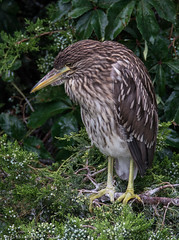 Rainy Day at the Rookery - Black-crowned Night Heron Juvenile - 3 (RGL_Photography) Tags: bird heron us newjersey unitedstates wildlife handheld oceancity jerseyshore juvenile mothernature rookery blackcrownednightheron nycticoraxnycticorax capemaycounty migratorybirds greateggharborbay littlefingerchannel staintonmemorialcauseway nikond610 tamronsp150600mmf563divcusd