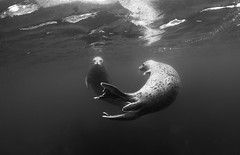 IMG_5290 (Andrey Narchuk) Tags: black underwater russia pair seal kuril