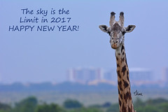 Happy New Year!  8675B+2 (teagden) Tags: giraffe masaigiraffe nnp nairobinationalpark nairobi national park jenniferhall jenhall jenhallphotography wildlifephotography wildlife nature naturephotography photography nikon wild happynewyear safarisunday safari kenyasafari africasafari africansafari dkgrandsafaris kenya kenyawildlife kenyaafrica africa africanwildlife african africanphotography happy2017 skyisthelimit