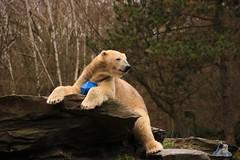 Tierpark Berlin 26.12.2017 071 (Fruehlingsstern) Tags: eisbär polarbear wolodja rothund nashorn stachelschwein tierparkberlin canoneos750 tamron16300