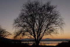 Salix babylonica (luc.feliziani) Tags: sunset trasimeno lake tree