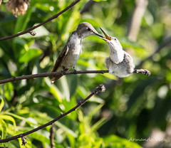Picaflor (ando083) Tags: naturaleza laserena chile picaflor hummingbird ave