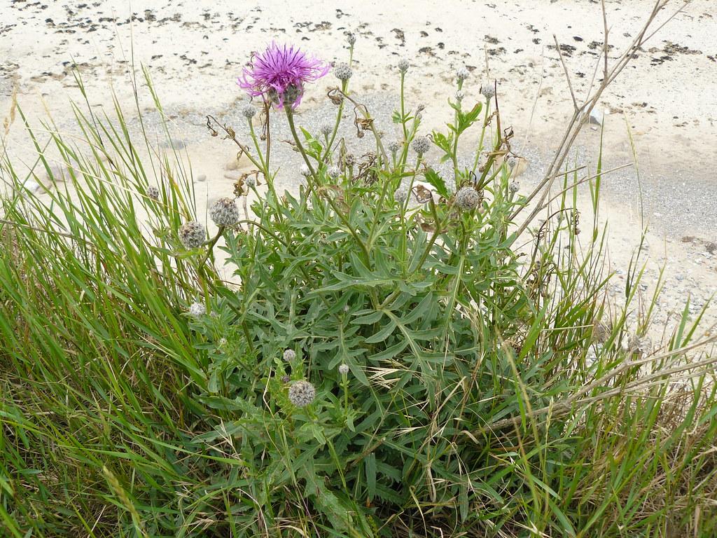 Centaurea scabiosa-Skabiosen-Flockenblume3
