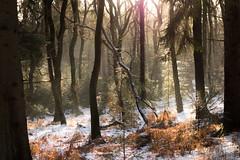 DSC07124-15 januari 2017 (mauriceweststrate) Tags: fairytale gelderland rozendaal winter bos boslandschap bossen cold fairy forest forests mauriceweststrate rozendaalsebos rx100 snow trees velp winterlandscape winterlandschap