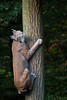 Climbing up a tree (Cloudtail the Snow Leopard) Tags: luchs wildpark pforzheim tier animal mammal säugetier katze cat feline lynx klettern climb